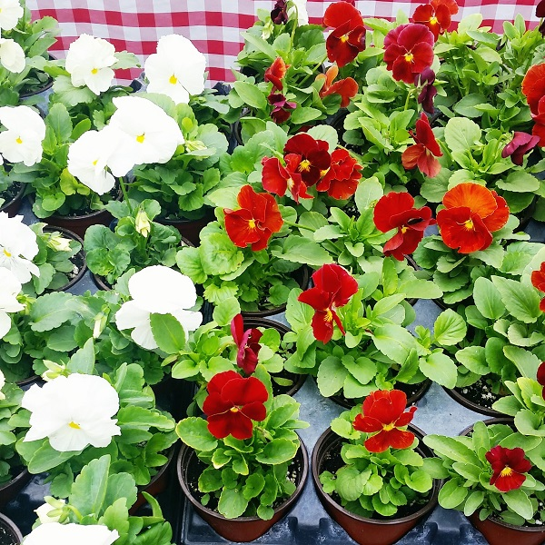 Friday's Five - Pansies